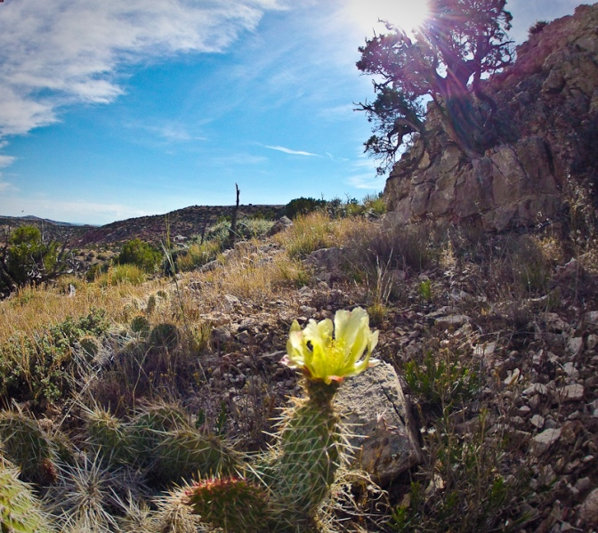 desert flower big horn canyon national recreation area gorge cactus flower landscape